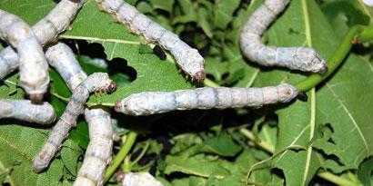 Imagem de Cientistas criam lagartas transgênicas capazes de produzir seda de aranha no site TecMundo