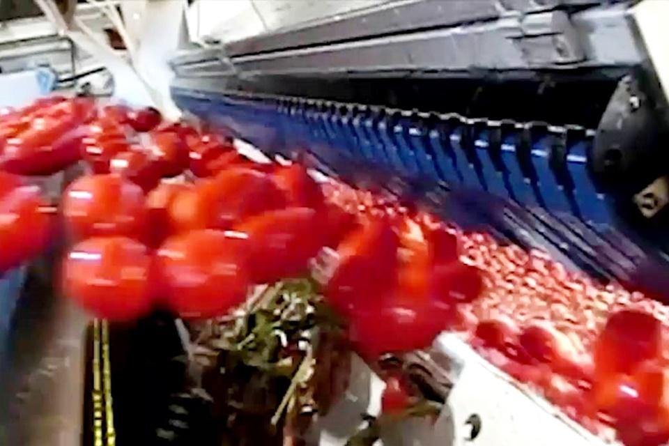 Imagem de Como as máquinas escolhem/rejeitam tomates (e outros itens) tão rápido? no tecmundo