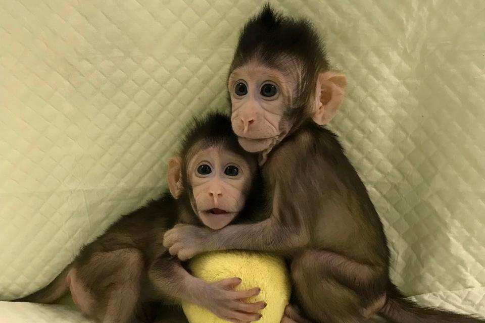 Imagem de Nascem os primeiros macacos clonados com técnica da ovelha Dolly no tecmundo