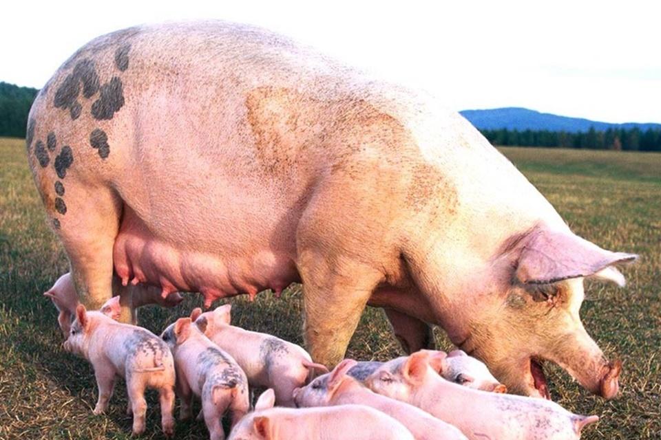 Imagem de China usa IA para gerenciar maior criação de porcos do mundo no tecmundo
