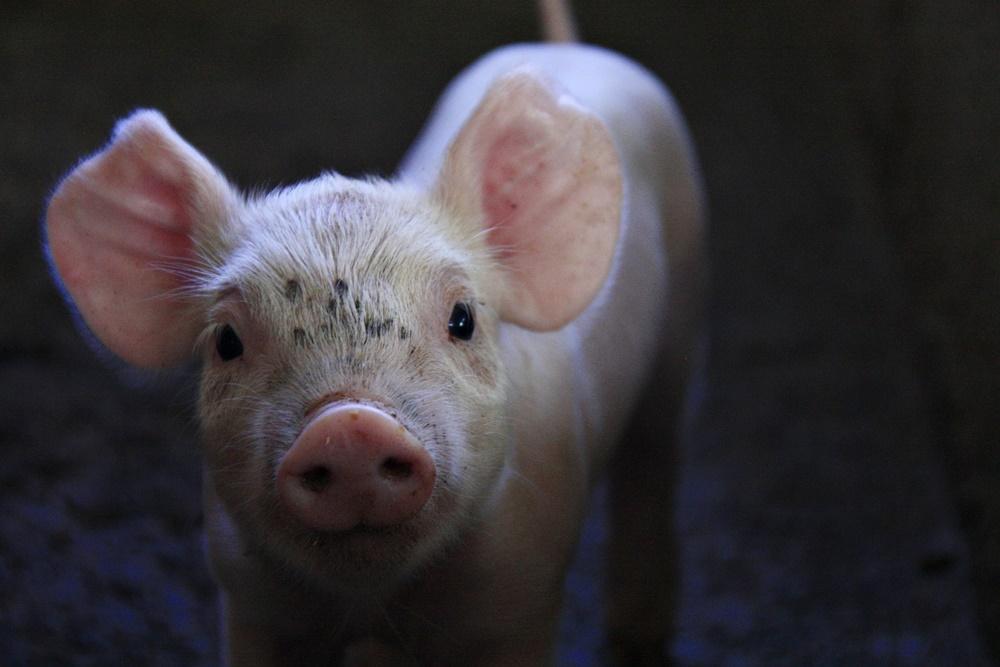 porcos porco