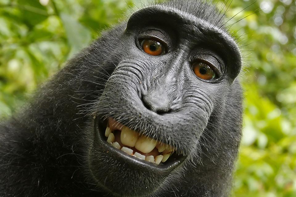 Imagem de Tribunal norte-americano reacende polêmica da selfie do macaco Naruto no tecmundo