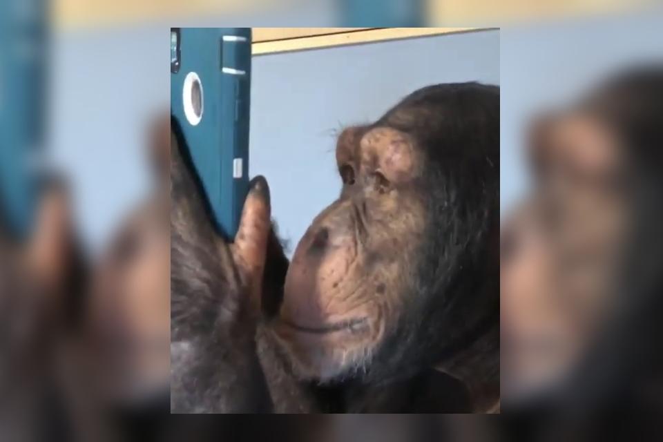Imagem de Um chimpanzé usando o Instagram é a coisa mais fofa que você vai ver hoje no tecmundo